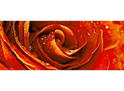 Cerrol Royal Syntia Rosa Tulip Syntia Rose 1